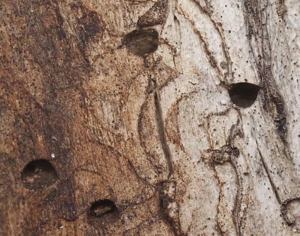 Wood boring insects in trees